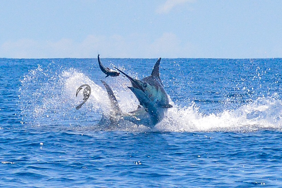 Best Marlin Fishing Season Ever!